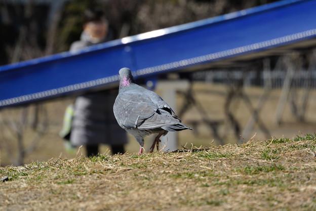 鳩のおしり
