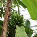 Photos: バナナ5-2