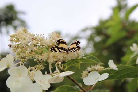 蝶々さん4-6