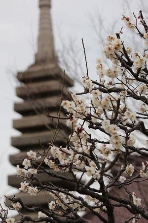 梅の花ー6