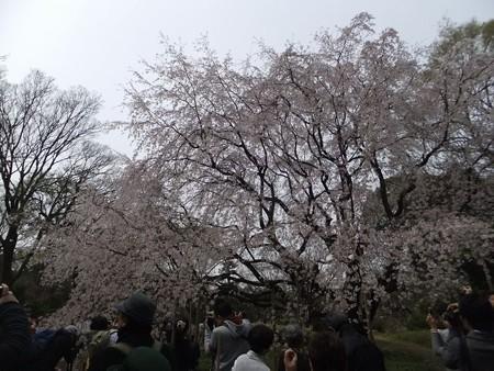 六義園しだれ桜2