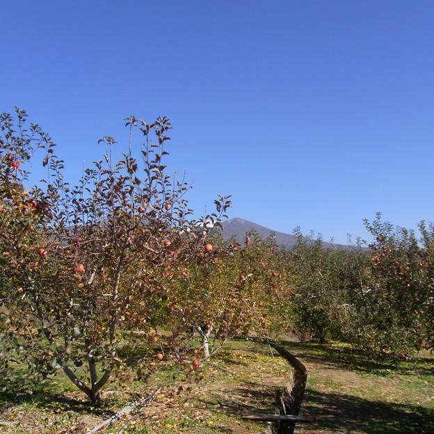 [信州] りんご狩り 2012 尾沼りんご園