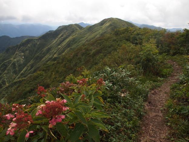 紫陽花と神室山