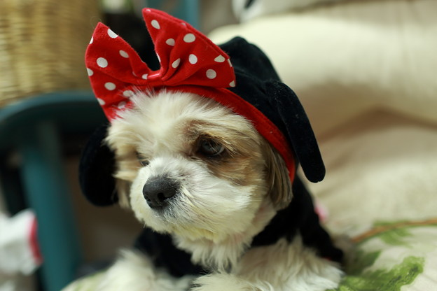 写真: 愛犬シーズー