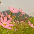 秋桜の季節