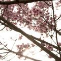 写真: 桜の花05
