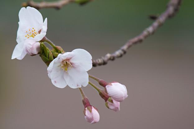 写真: 桜の花07