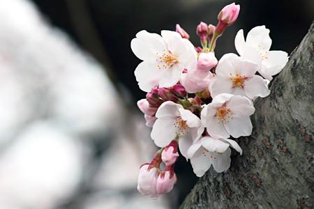 桜の花09