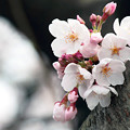 写真: 桜の花09
