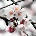 写真: 桜の花10
