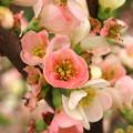 Photos: ボケの花