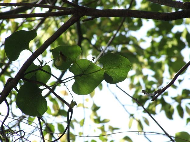ウマノスズクサの葉2(オオバウマノスズクサの葉でした)