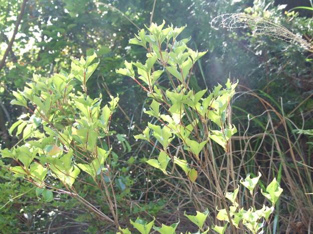 サイゴクミツバツツジの葉