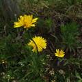 黄色い花(ブタナでした)