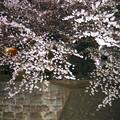 Photos: 夜の桜4