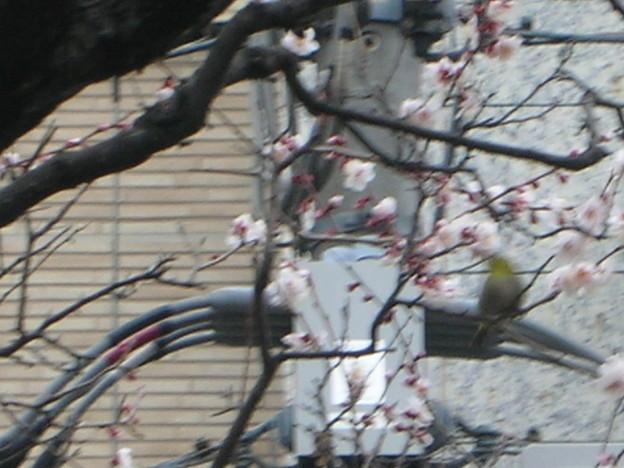 梅花をついばむ鳥