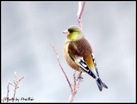 干拓の鳥達 カワラヒワ(2)