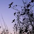 秋桜のシルエット