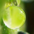 Photos: 淡いグリーンの水滴