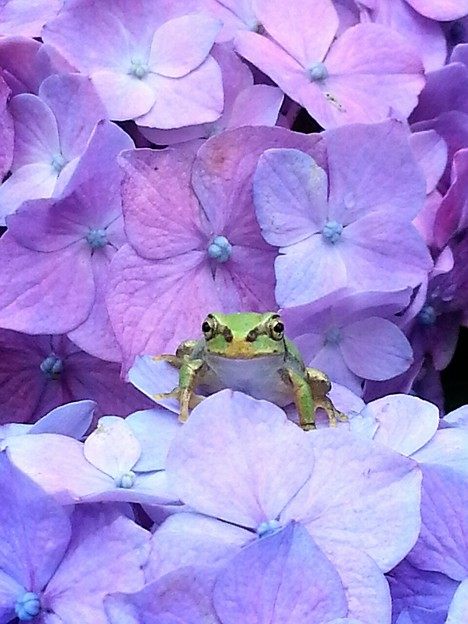 紫陽花と蛙