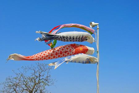 0415 鯉のぼり