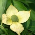 1007 ヤマボウシ 黄花常緑ヤマボウシ ググる TW 013 III