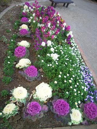 0211 ハボタン 花壇 005