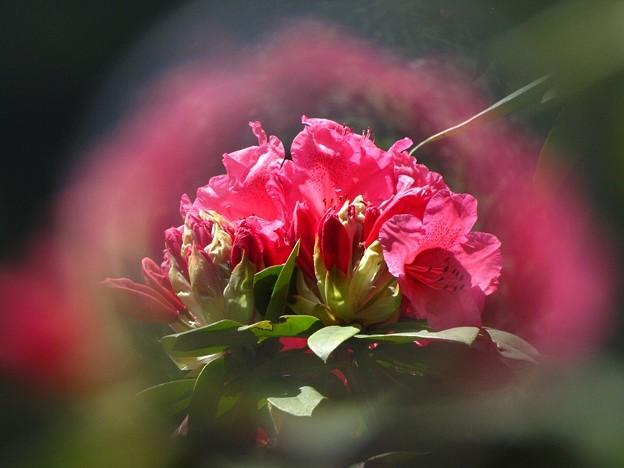 「西洋石楠花・・・・」 です・・・・