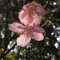 「河津桜・・・」 です・・