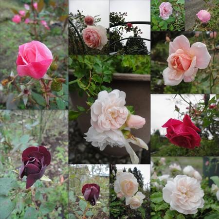今日の薔薇たち~