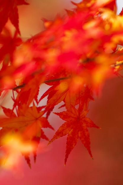 日陰の紅葉
