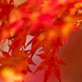 Photos: 日陰の紅葉