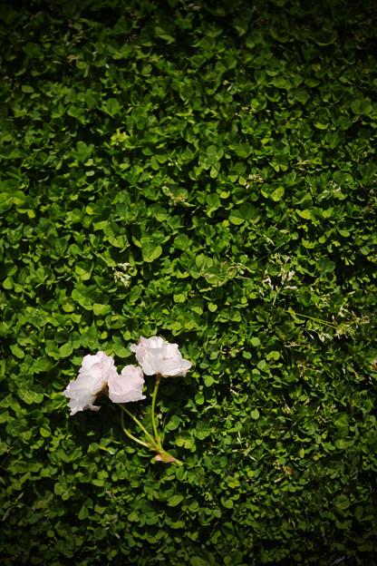 門司に散る花
