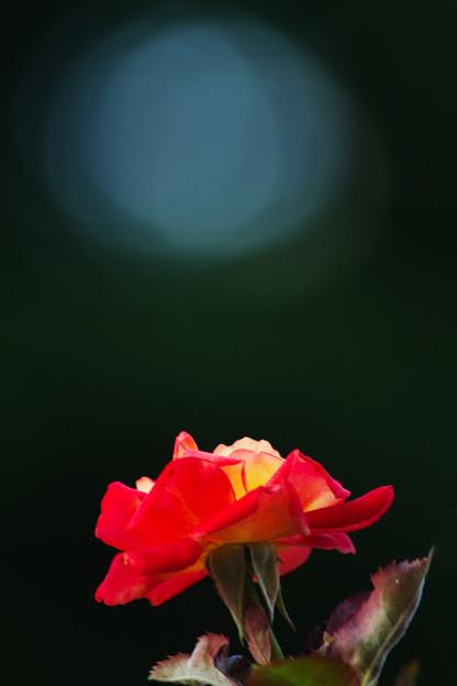 木漏れ日と薔薇