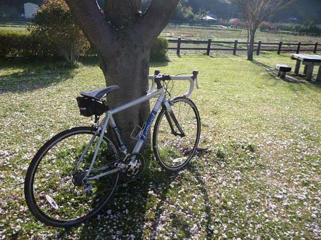 引地川親水公園の桜とレモン2