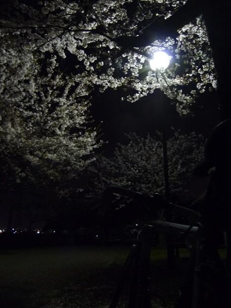 引地川親水公園の桜とレモン8