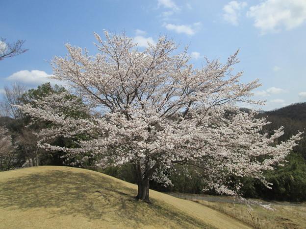写真: 足利城ゴルフ倶楽部2番ホールの素晴らしい桜
