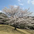 Photos: 足利城ゴルフ倶楽部2番ホールの素晴らしい桜