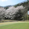 写真: 足利城ゴルフ倶楽部の桜NO2グリーンの満開の桜?