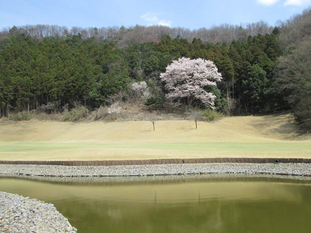 写真: 足利城ゴルフ倶楽部の13番Hの山桜