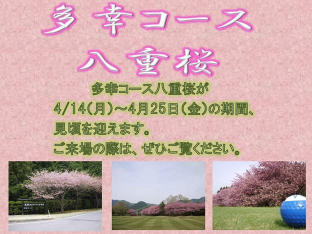 写真: 足利カントリークラブ多幸コース八重桜のご案内