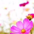 Photos: 秋桜☆