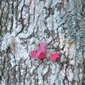 小さな秋みつけた♪~アメリカンフーの幹に~