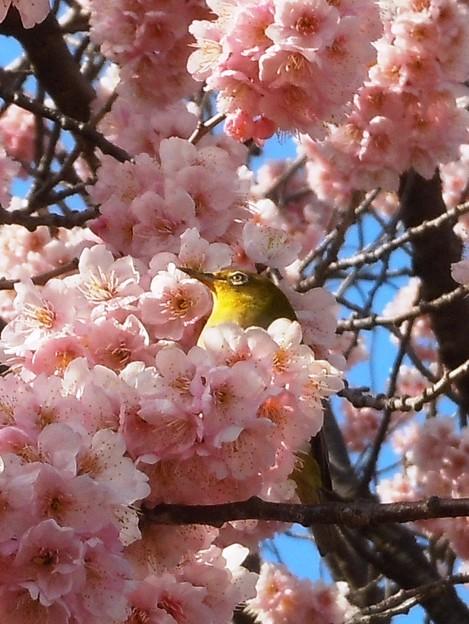 早咲きの 花に埋もるる 目白かな