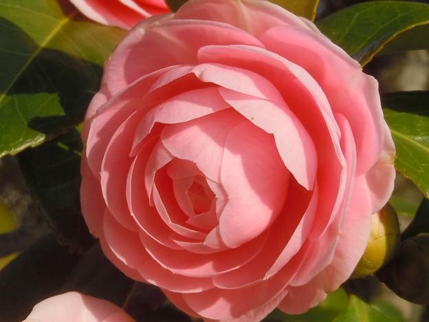 千光寺山の桃色椿