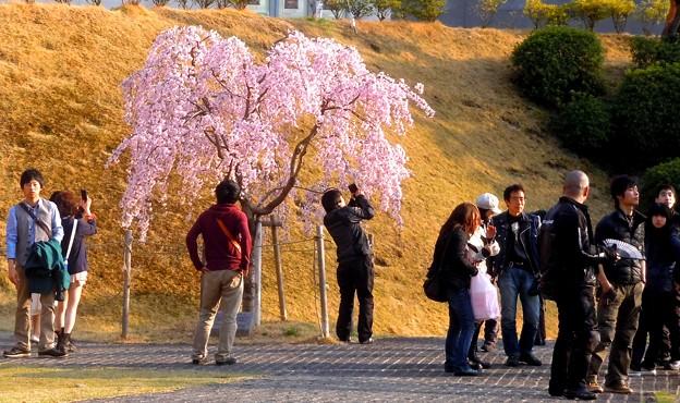 子孫樹「三春滝桜」 in 千光寺山
