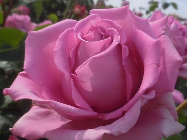 風薫る五月の薔薇 in 福山ばら祭2013