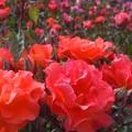 Photos: 五月のバラ in 福山ばら祭2013