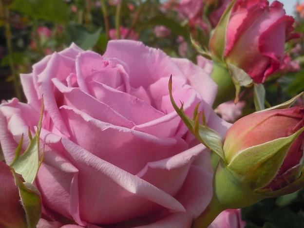 五月の薔薇 in ばら祭