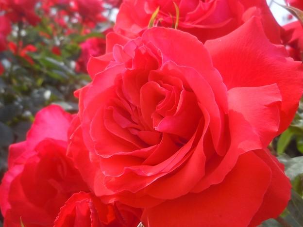 五月の赤いバラ in 福山ばら祭